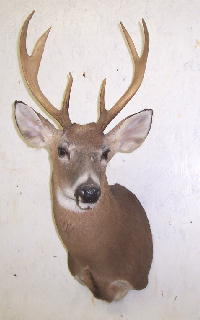 whitetail_taxidermy_mount