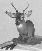 deer taxidermy mount