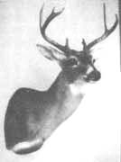 whitetail mount